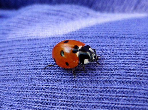 Single Ladybird