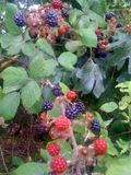 Rich pickings of blackberries