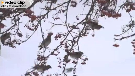 Dec 15 - Waxwings