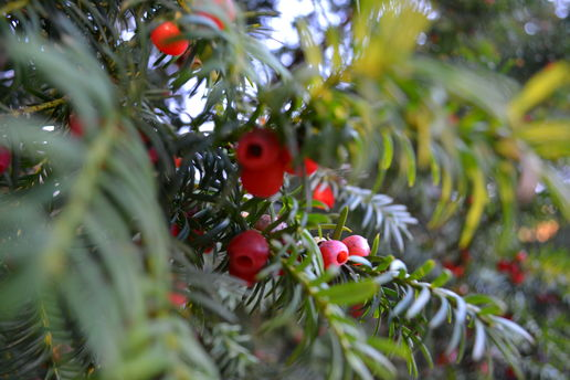 Fir Berries and December Fog
