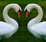 Swans of Love