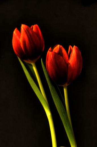Tulips Dipped In HDR