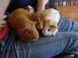 guineapigs toffee and crystal