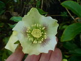 Hellebore in all it's splendour.