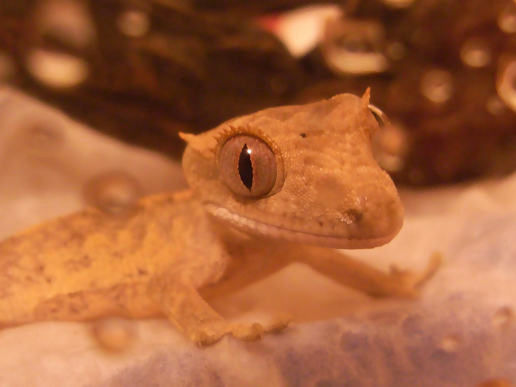 our-new-crested-gecko-baby-1.jpg