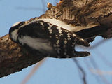 Woodpecker Flash