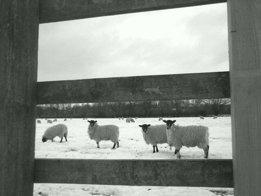 Sheep, New Bradwell, Milton Keynes