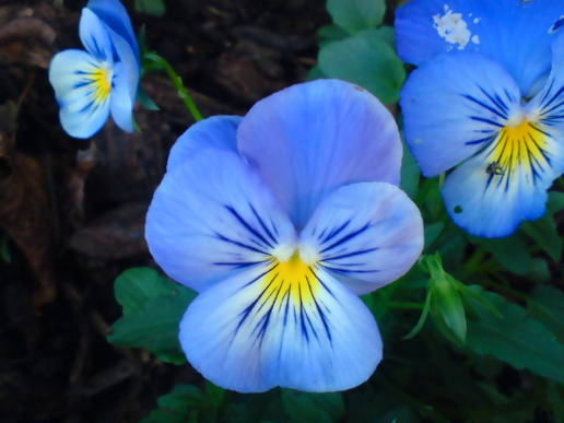 Late Pansies