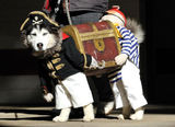 Dog dressed as two pirates