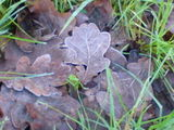 Frosty old oak leaves