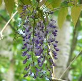 The best Wisteria in the Universe!