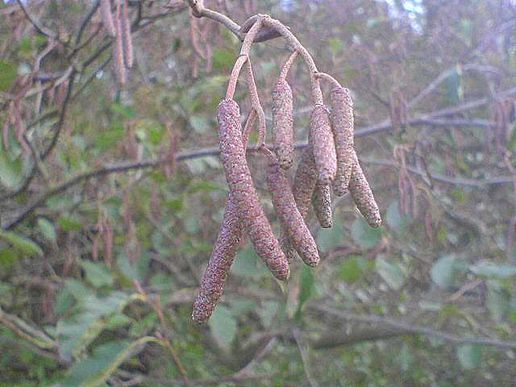 Winter Catkins