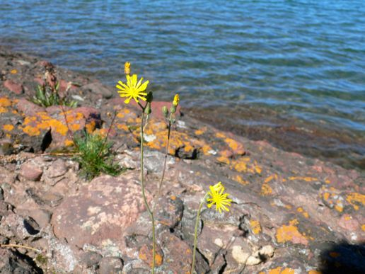 Wild flowers of the Keewenaw peninsula