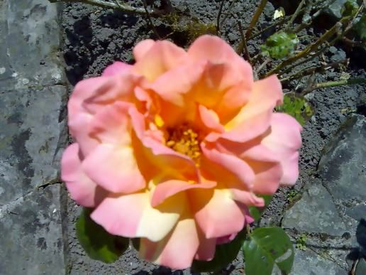 An old welsh rose
