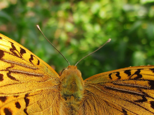 Argynnis pandora, Up Close