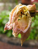 Decaying Roses
