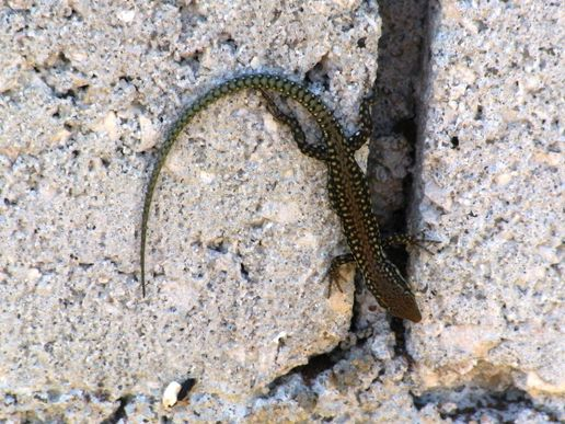 Wall Lizards