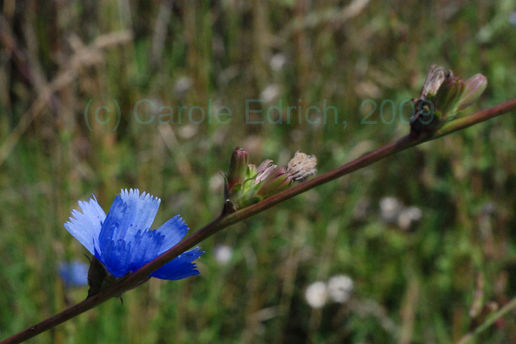 cornflower blues