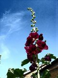 Big hollyhocks, big day