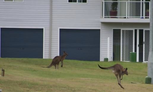 Backyard Kangaroos