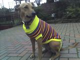 Brown Dog sports her new jumper