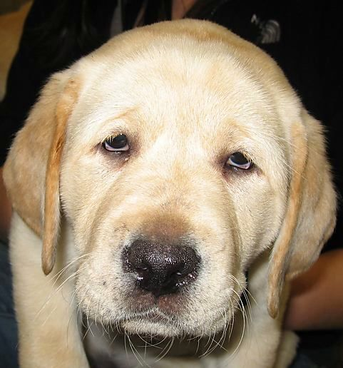 Labadore Dogs Good Family Animals