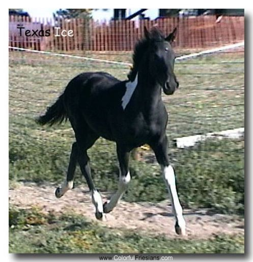 Black n White Friesian Cross Colt by Ice Man