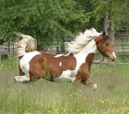 Pinto Friesian Horse Pinto Friesian Apha Filly