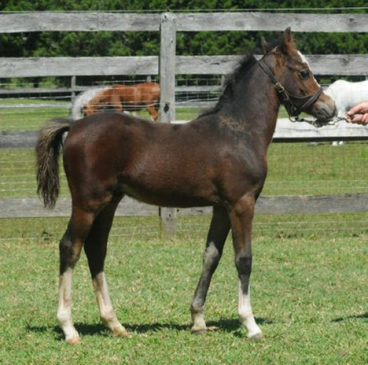 Section A Welsh Pony for sale, at equinenow's moblog