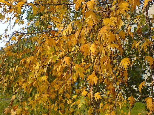 Autumn leaves a goldening
