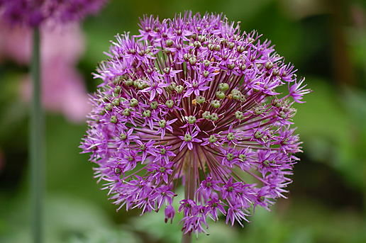 Big round purple Allium head at Cambridge Botanic Gardens