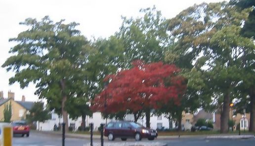 Ely red tree early October morning