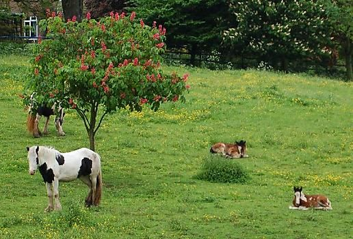 Horsies and chestnut tree