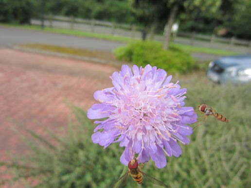 Scabious visitors