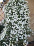 A mass of clematis