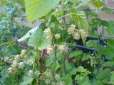 Blackcurrant flowers