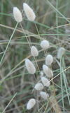Bunny Tail Grass
