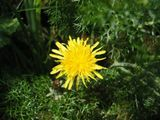 Dandelion in fennel