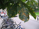 Diseased chestnut leaf