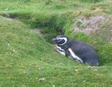 For Bonefish - magellanic penguin resting in burrow