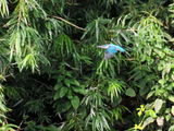 Kingfisher by the Cam
