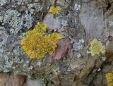 Lichens for Swamprose