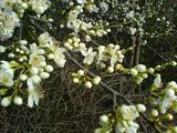 May blossom in February