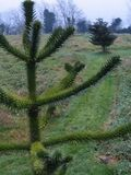 Monkey puzzle and Korean fir