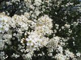 More hawthorn blossom