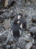 Moulting penguins