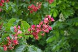 Red-flowered chestnut