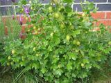Ripening gooseberries