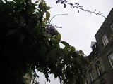 Sidney St wisteria in the rain