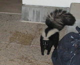 Skunk guards rubbish